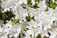 It is a lot of white gentle flowers in sunny day royalty free stock photo
