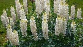 A lot of white lupines in the garden. Summer background. A lot of white lupines in the garden. Summer or spring background Royalty Free Stock Photos