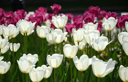 A lot of white and pink tulips. A lot of white and pink open tulips grow in sunlight in the park Stock Photography
