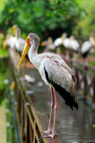 Lot of white storks sitting on bridge railings, ciconia, at rainy day. Stock Image