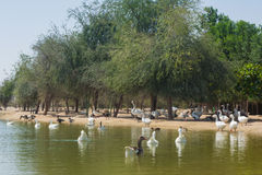 A lot of wild birds swimming in the artificial lake Royalty Free Stock Photography