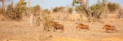 Wild boar running through the savannah of Kenya Stock Photo