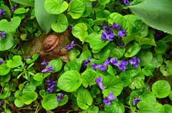 Lot of wild violets Stock Photography