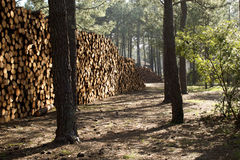 A lot of wood. In the forest royalty free stock images