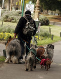 Lot of work. Man walking dogs. Picture taken in argentina Royalty Free Stock Photos