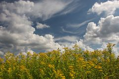 Goldenrod Solidago virgaurea. A lot of yellow blossoming of the common marmot Solidago virgaurea and above the blue sky and clouds stock photo
