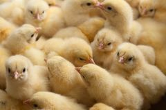 A lot of yellow chicks or baby chicken on the farm for growing chicken