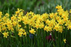 Lots of yellow daffodils royalty free stock photography