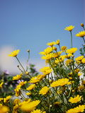 Lot of yellow flowers on meadow Royalty Free Stock Photography