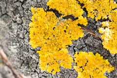A lot of yellow lichen on a tree stock photography