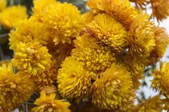 A lot of yellow orange chrysanthemums - bright autumn flowers in the garden stock images