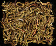 Lot of yellow poplar catkins close-up background Stock Images