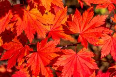 Of yellow and red autumn leaves. A lot of yellow and red autumn leaves stock photos