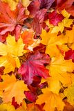 Clean bright colored autumn leaves Royalty Free Stock Images