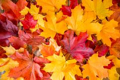 Clean bright colored autumn leaves Stock Image
