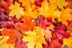 Clean bright colored autumn leaves Royalty Free Stock Photos