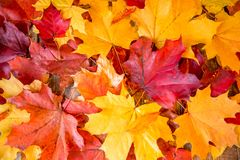 Clean bright colored autumn leaves Stock Photos