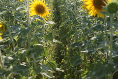 A lot of yellow sunflowers growing in a field Royalty Free Stock Photo