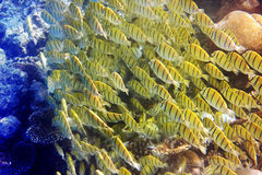 It is a lot of yellow tropical small fishes against corals Stock Images