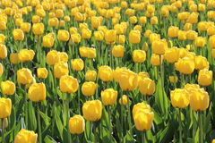 Lot of yellow tulips. A lot of bright yellow tulips on a sunny day Royalty Free Stock Photography
