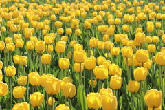 Lot of yellow tulips. A lot of bright yellow tulips on a sunny day Stock Image