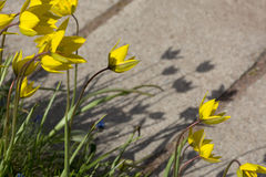 A lot of yellow tulips on the flowerbed, green stems, flowers, s. Yellow tulips on the flowerbed, green stems, flowers, shadows Stock Image