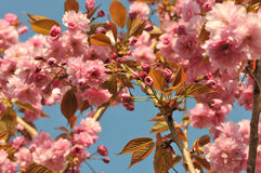 Lot of Young Pink Cherry Blossoms Stock Images