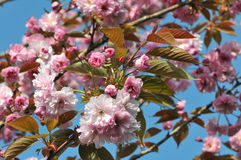 Lot of Young Pink Cherry Blossoms Stock Photography