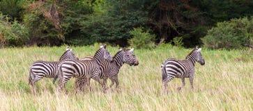 A lot of zebras run over the grasland of Kenya Royalty Free Stock Photo