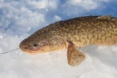 Lota de río recién pescada (lota del Lota) Foto de archivo libre de regalías