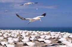 lota gannet zdjęcie stock