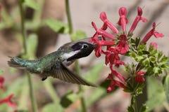 lota hummingbird Fotografia Royalty Free