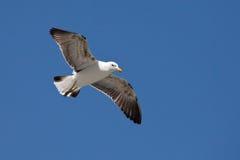 lota seagull zdjęcia royalty free