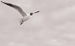 lota seagull Obrazy Royalty Free