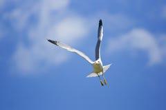 lota seagull Fotografia Royalty Free
