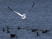 lota wielki pelikana biel Zdjęcia Royalty Free