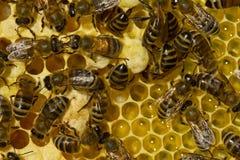 Lote da vida do verão das abelhas Imagem de Stock