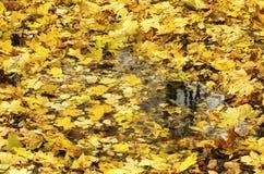 Lote das folhas caídas do amarelo do bordo Imagens de Stock Royalty Free