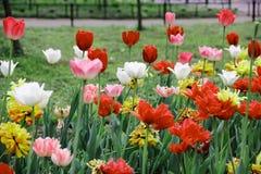 Lote das tulipas Fotos de Stock Royalty Free