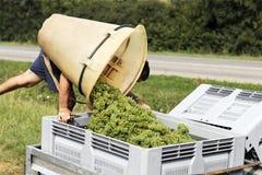 Lote das uvas imagens de stock royalty free