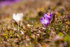 Lote de flores roxas do açafrão na mola Fotos de Stock