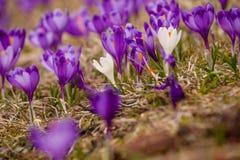 Lote de flores roxas do açafrão na mola Imagens de Stock Royalty Free
