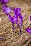 Lote de flores roxas do açafrão na mola Foto de Stock