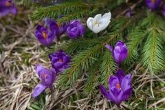 Lote de flores roxas do açafrão na mola Foto de Stock Royalty Free