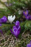 Lote de flores roxas do açafrão na mola Imagem de Stock