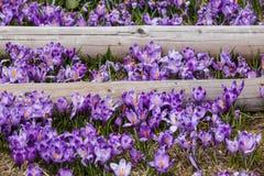 Lote de flores roxas do açafrão na mola Imagens de Stock