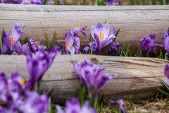 Lote de flores roxas do açafrão na mola Imagem de Stock Royalty Free