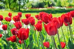 Lote de tulipas vermelhas na flor-cama Imagens de Stock