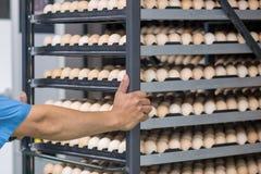 Lote dos ovos na bandeja, no negócio do ovo & no processo da camada Fotos de Stock