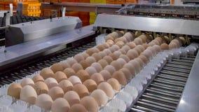 Lote dos ovos na bandeja, no negócio do ovo & no processo da camada foto de stock royalty free